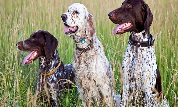 Dogs for Hunting